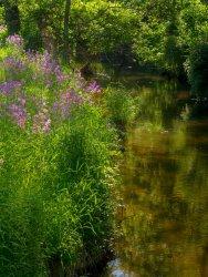 Phlox along French Creek