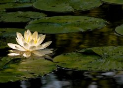 WaterLily_0033a